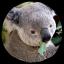 cevval koala